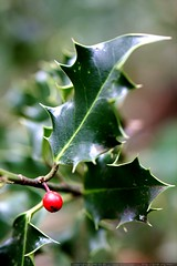 poisonous holly berry    MG 0007