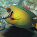 Small photo of Chocolate tang - Acanthurus pyroferus