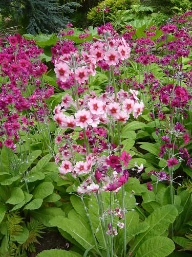 Tiers of Candelabra Primulas