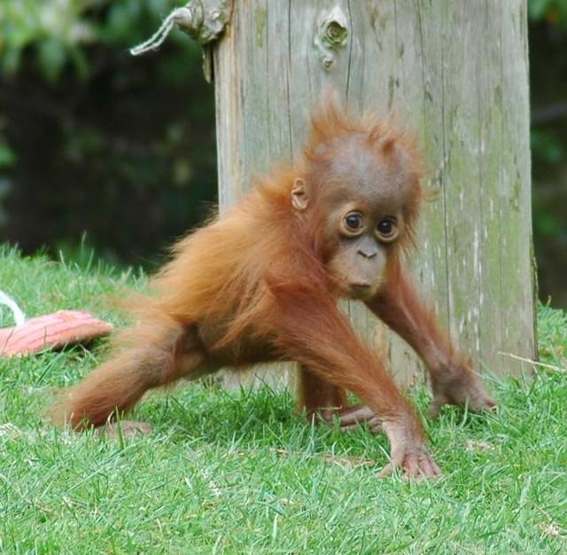 Smiling baby orangutan - photo#24