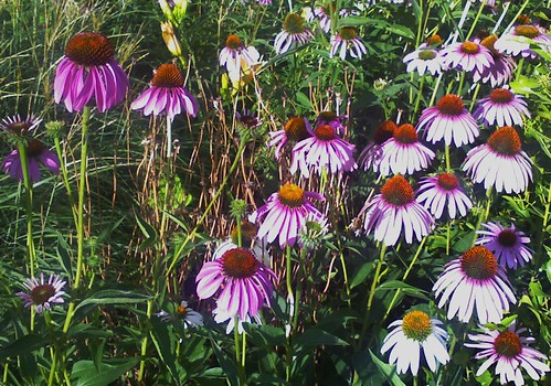 White and Purple Cone Flowers