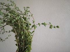 greenleaves