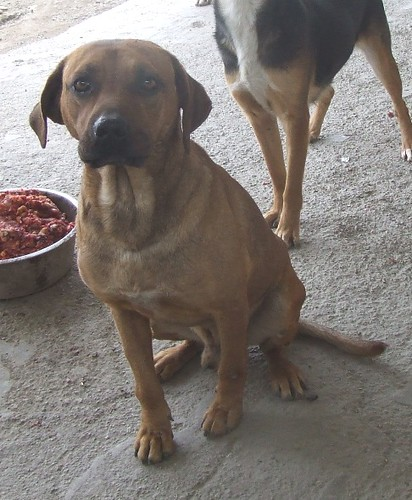 homer 2 year old neutered yellow male lab bull mastiff mix 90 lbsYellow Lab Mastiff Mix