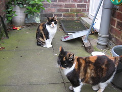 animal, small to medium-sized cats, pet, mammal, cat, whiskers, manx, domestic short-haired cat,