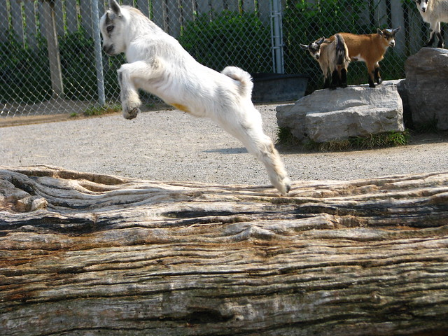 holy jumping baby goat...