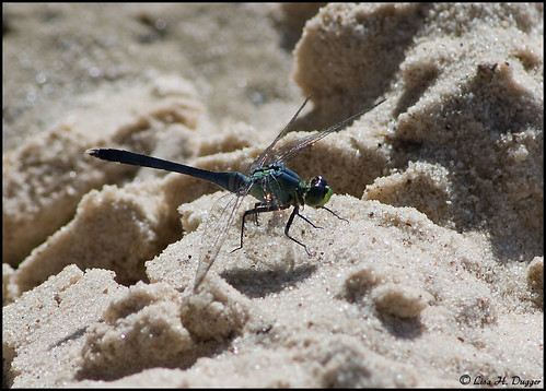 Blue-green dragonfly