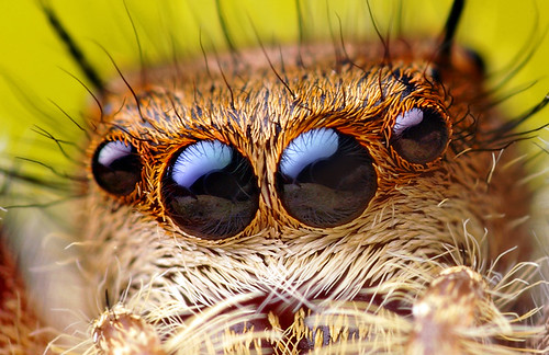 Anterior Median and Anterior Lateral Eyes of a Phidippus princeps Jumping Spider