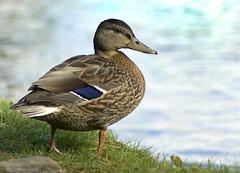 Longshaw Duck