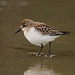 Western Sandpiper - Photo (c) ian wetton, some rights reserved (CC BY-NC-ND)