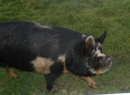 Pig A