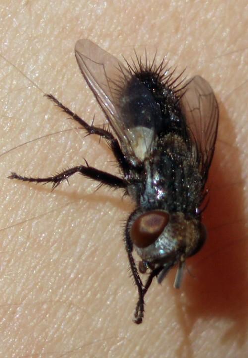 Baumhaueria microps 2965797015_5c639617b5_o
