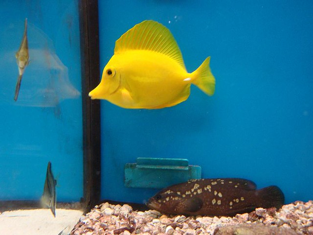 Yellow Fish In A Tank Yellow Saltwater Fish In A