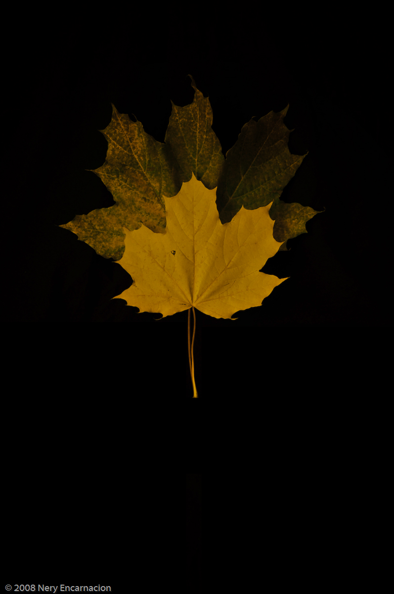 Another Yellow Leaf