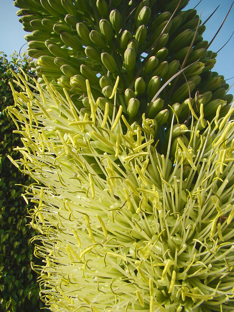 Agave attenuata flower