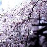 Shidare Sakura (Shidare Zakura)