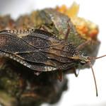 Physatocheila smreczynskii