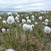 Small photo of Cottongrass (Eriophorum angustifolium)
