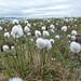 Small photo of Cottongrass (Eriophorum angustifolium)