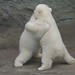 Vienna's polar bear cubs wrestle