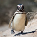 Small photo of Penguin Waddle