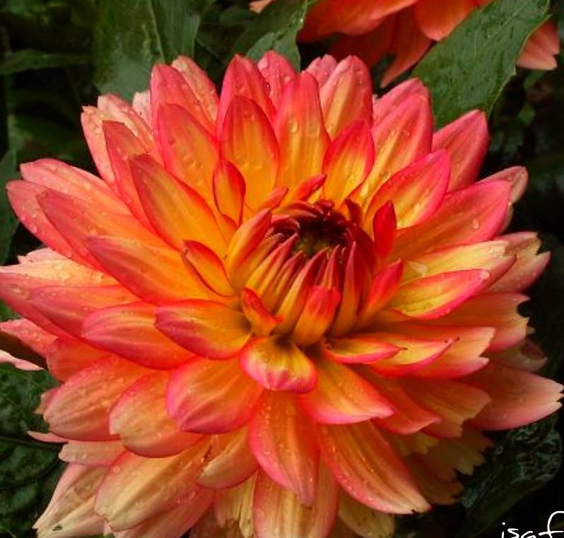 Dalia preciosa del jardin de Susana