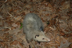 animal, opossum, virginia opossum, rodent, mouse, fauna, muroidea, pest, wildlife,