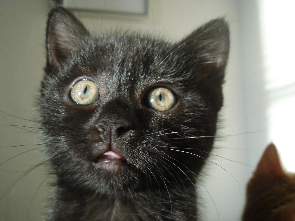 foster kitten Milly