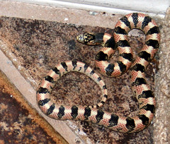 animal, serpent, snake, reptile, fauna, scaled reptile, kingsnake,