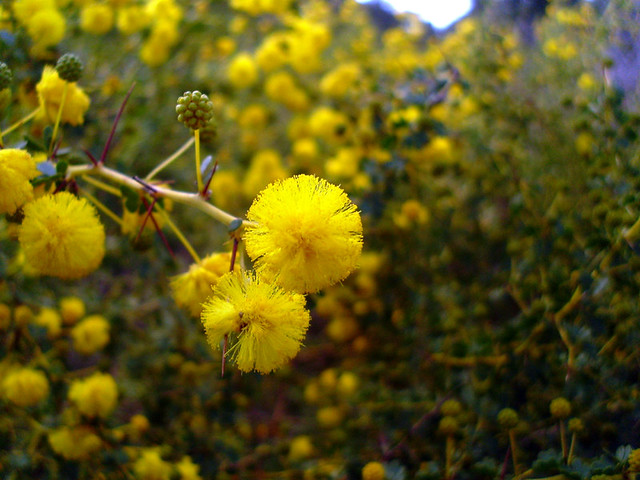 Header of Acacia pulchella