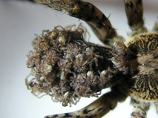 Baby Wolf Spiders | Flickr - Photo Sharing!
