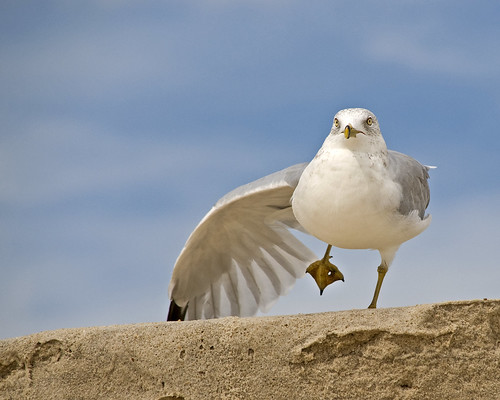 gull on Fire Island by Alida's Photos