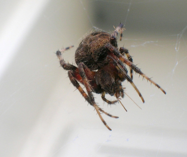 Giant Fuzzy Spider 01 Flickr Photo Sharing