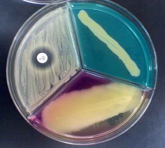 What Is Ppm >> Staphylococcus xylosus | Flickr - Photo Sharing!