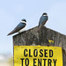 Birds: Swallows and Martins
