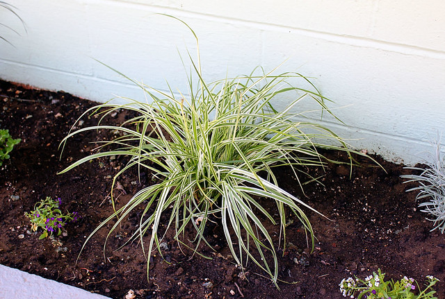 Variegated purple fountain grass sky rocket flickr for Variegated grass with purple flower