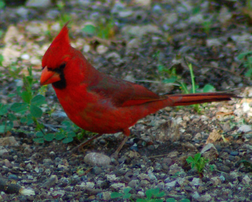 arizona bird cardinal az pinal pinalcounty
