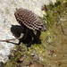 Giant Water Bug - Photo (c) kqedquest, some rights reserved (CC BY-NC)