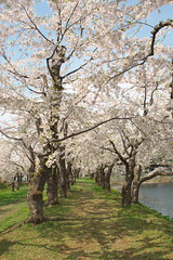 Cherry of Goryokaku / 五稜郭の桜
