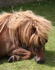 animal(1.0), mane(1.0), mare(1.0), stallion(1.0), mammal(1.0), horse(1.0), mustang horse(1.0), pony(1.0),