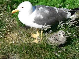 mother and chick