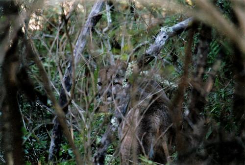 Wild Mountain Lion at Alum Rock Park