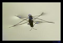 arthropod, animal, mosquito, invertebrate, macro photography, fauna, pest,
