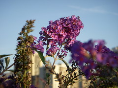 Flowers at North Point Park - Clusters of purple flower stalks