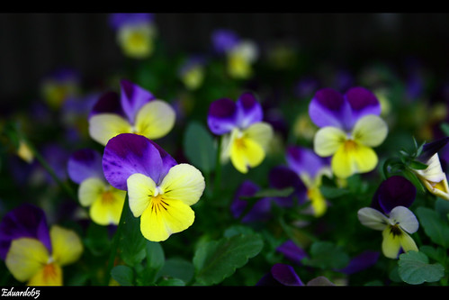 Viola in the dark