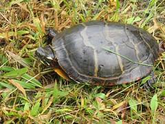 animal, turtle, box turtle, reptile, fauna, emydidae, wildlife, tortoise,