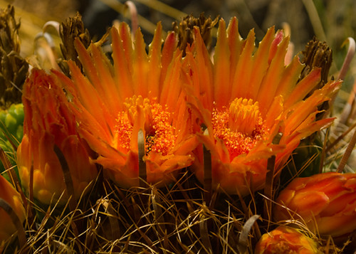 Fish Hook Cactus Flowers
