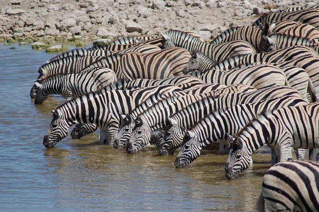 Cebras - Parque Nacional Etosha - Namibia