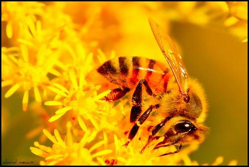 macro yellow bee tamron 180mm catchycolorsyellow nikoncapturenx flickrdiamond macromarvels tamronspaf180mmf35dild