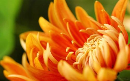 Crisantemo. Fotografía: Alberto García