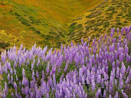 Lupine Cascade